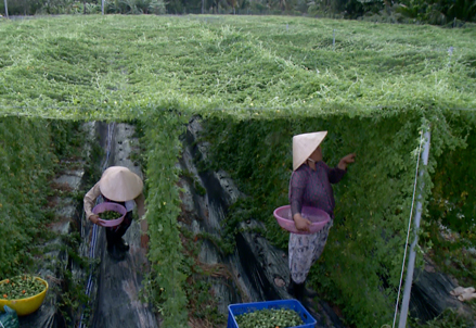 Expansion of Forest Bitter Melon material areas in the Mekong Delta